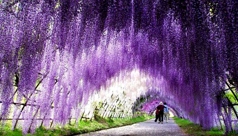 Wisteria in the desert krystle kelley Wisteria flower tunnel path in japan